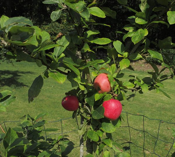 æbler, apples