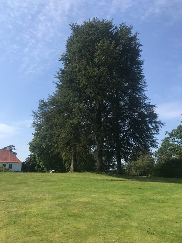 old tree, gammelt træ